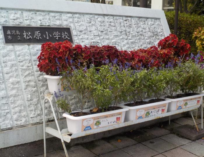 鹿児島市立松原小学校で推奨花の育成状況を取材しました!~花育てリレー~